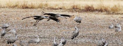 Ein Sandhill Crane Pair Glides In, seinen Winter Surivival wieder zusammenbringend Lizenzfreies Stockfoto