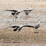 Ein Sandhill Crane Pair Lands, seinen Winter Surivival Grou wieder zusammenbringend Lizenzfreie Stockfotos