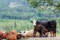 Ein Satz Kühe am Bauernhof Lizenzfreie Stockfotos
