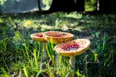 Ein Satz Pilze stockfotos