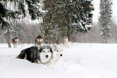 Ein Satz Schlittenhunde in einem schneebedeckten Wald Stockfotografie