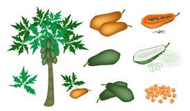 Ein Satz von frischen Papayas und von Papaya-Baum Stockfotos