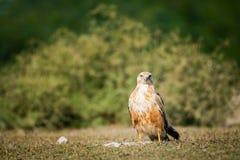 Ein sauberes Bild von Adlerbussard oder Buteo rufinus Portr?t lizenzfreies stockfoto