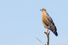 Ein Savannen-Falke (Heterospizias-meridionalis) stillstehend auf Niederlassung Stockfoto