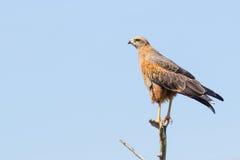 Ein Savannen-Falke (Heterospizias-meridionalis) stillstehend auf Niederlassung Stockbilder