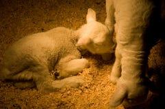 Ein Schätzchenlamm kräuselte sich in einer Feder nahe ihrer Mamma Stockbild
