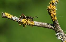 Ein schöne Wespen-Käfer Clytus-arietis, die auf einer Niederlassung umfasst in der Flechte hocken Stockbilder
