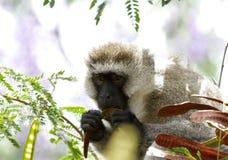 Ein schöner Afrikaner Vervet-Affe, der Hülsen isst Lizenzfreie Stockbilder