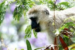 Ein schöner Afrikaner Vervet-Affe, der unten schaut Stockbilder