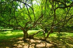 Ein schöner Baum mit langem und kleinem Niederlassungen Foto eingelassenes kebun raya Bogor Indonesien Lizenzfreie Stockfotografie