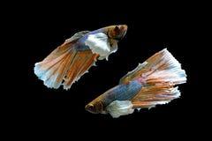 Ein schöner betta Fisch stockfoto