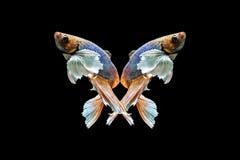 Ein schöner betta Fisch stockfotografie