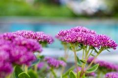 Ein schöner blühender Busch in einem Blumenbeet Lizenzfreie Stockfotos