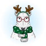 Ein schöner Bullterrier in einer Rotwildklage und in einem Winterschal Neues Jahr ` s und Weihnachten Zucht- Hund Stockfoto