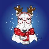 Ein schöner Bullterrier in einer Rotwildklage und in einem Winterschal Neues Jahr ` s und Weihnachten Zucht- Hund Stockfotos