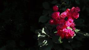 Ein schöner Busch von roten Rosen auf einem dunklen Hintergrund beeinflußt in den Wind stock footage