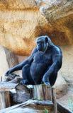 Ein schöner einsamer Affe, der auf einem Stumpf sitzt Stockbild