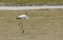 Ein schöner entspannender Flamingo Stockfotos