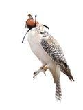 Ein schöner Falke getrennt auf Weiß Lizenzfreies Stockfoto