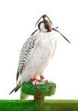 Ein schöner Falke getrennt auf Weiß Lizenzfreie Stockfotos