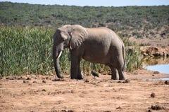 Ein schöner grauer großer Elefant in Addo Elephant Park in Colchester, Südafrika Lizenzfreies Stockfoto