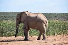 Ein schöner grauer großer Elefant in Addo Elephant Park in Colchester, Südafrika Stockbild