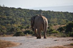 Ein schöner grauer großer Elefant in Addo Elephant Park in Colchester, Südafrika Lizenzfreie Stockbilder