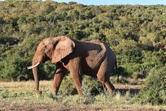 Ein schöner grauer großer Elefant in Addo Elephant Park in Colchester, Südafrika Stockfotografie