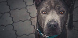 Ein schöner grauer Hund Lizenzfreies Stockfoto