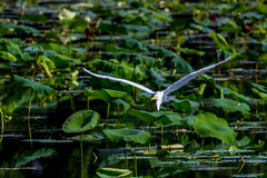 Ein schöner großer weißer Reiher im Flug unter Lotus Water Lilies Lizenzfreie Stockfotos