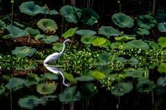 Ein schöner großer weißer Reiher unter Lotus Water Lilies mit Reflexion Lizenzfreies Stockbild