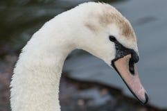 Ein schöner Höckerschwan nahm Nahaufnahme und im Profil gefangen lizenzfreie stockbilder