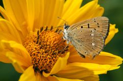 Ein schöner haariger Schmetterling, der auf einer hellen gelben Blume und einem Getränknektar sitzt lizenzfreie stockfotos