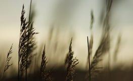 Ein schöner Hintergrund vom Schattenbild eines Grasstengels gegen die Glättungssonne lizenzfreie stockfotos