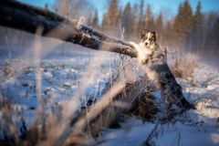 Ein schöner Hund der Border collie-Zucht steht auf seinen Hinterbeinen im Winter stockfoto