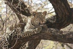 Ein schöner Leopard Panthera PardusChui in der Suaheli-Sprache stockfotos