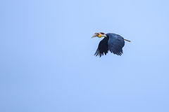 Ein schöner Mann wand Hornbill Lizenzfreies Stockfoto