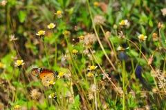 Ein schöner orange, weißer und schwarzer thailändischer Schmetterling auf einer erstaunlichen Gruppe kleinen weißen und gelben Bl Lizenzfreie Stockfotografie