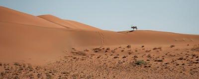 Ein schöner Oryx navigiert die Sanddünen und wirft einen langen Schatten über dem orange Sand stockfotos