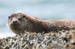 Ein schöner Otter Lutra Lutra, der auf der Küstenlinie auf der Insel von Mull, Schottland nach der Fischerei im Meer liegt lizenzfreie stockfotos