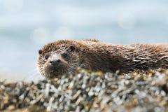 Ein schöner Otter Lutra Lutra, der auf der Küstenlinie auf der Insel von Mull, Schottland nach der Fischerei im Meer liegt lizenzfreie stockbilder