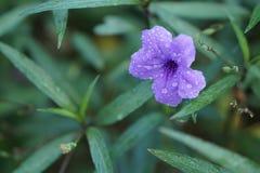 Ein schöner ruellia Tuberose im Garten Lizenzfreie Stockfotos