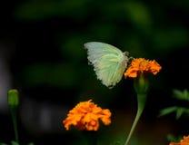 Ein schöner Schmetterling, der auf einer schönen gelben Blume in einem Garten sitzt Stockbild