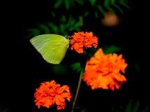Ein schöner Schmetterling, der auf einer schönen gelben Blume in einem Garten sitzt Stockbilder