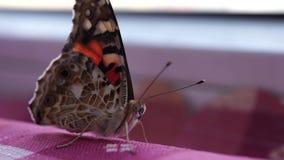 Ein schöner Schmetterling ist ein Insekt vom Lepidopteraauftrag Makromodus stock video footage