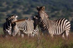 Ein schöner Schuß einer Blendung von Zebra Stockfoto