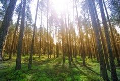 Ein schöner sonniger Waldhintergrund mit Gras Lizenzfreies Stockfoto