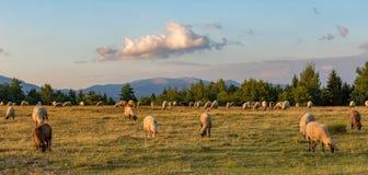Ein schöner Tag und die Schafe, die auf einem grünen Gebiet weiden lassen Stockbild