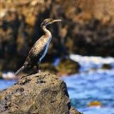 Ein schöner Vogel, der auf einem Stein durch das Meer sitzt Kormoran Phalacrocorax Stockbilder