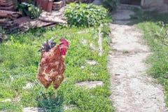 Ein schöner Vogel des jungen Hahns, der sich frei in der Natur bewegt Geben Sie Reichweite frei Lizenzfreie Stockbilder